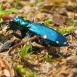 Six-Spotted Tiger Beetle, Cicindela sexguttata